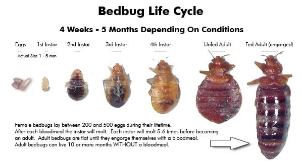 how to get rid of Monmouth County  bed bugs, heat Treatment Bed Bugs Monmouth County , NJ NYC PA NY Philly Brooklyn Bronx Staten Island Queens Manhattan Long Island City - Bed Bug Life Cycle