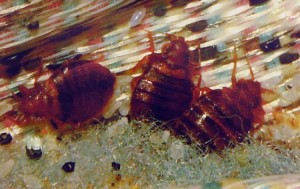 Bed Bugs in Brooklyn Bars & Apartments