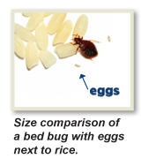 bed bug heat treatments, kill bed bug, bed bug egg photos